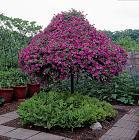Нажмите на изображение для увеличения Название: petunia tree04.jpg Просмотров: 173 Размер:    229.5 Кб ID:    154272