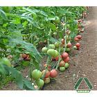 Нажмите на изображение для увеличения Название: tomat_pink_star.jpg Просмотров: 29 Размер:    87.8 Кб ID:    359886