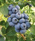 Нажмите на изображение для увеличения Название: Торо ягода.jpg Просмотров: 182 Размер:    125.9 Кб ID:    294606