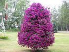 Нажмите на изображение для увеличения Название: petunia tree03.jpg Просмотров: 193 Размер:    88.1 Кб ID:    154271
