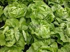 Нажмите на изображение для увеличения Название: p3831-semo-zelenina-salat-hlavkovy-merkurion2.jpg Просмотров: 93 Размер:    254.2 Кб ID:    363645