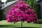 Нажмите на изображение для увеличения Название: petunia tree01.jpg Просмотров: 259 Размер:    158.3 Кб ID:    154269