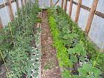 Барвинок растение выращивание 57